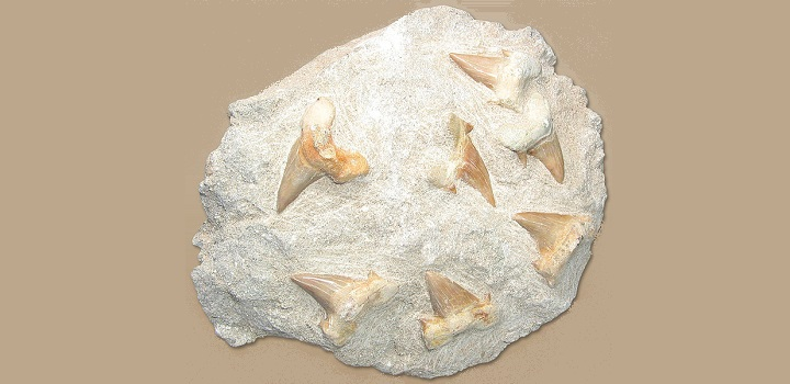 Florida shark teeth