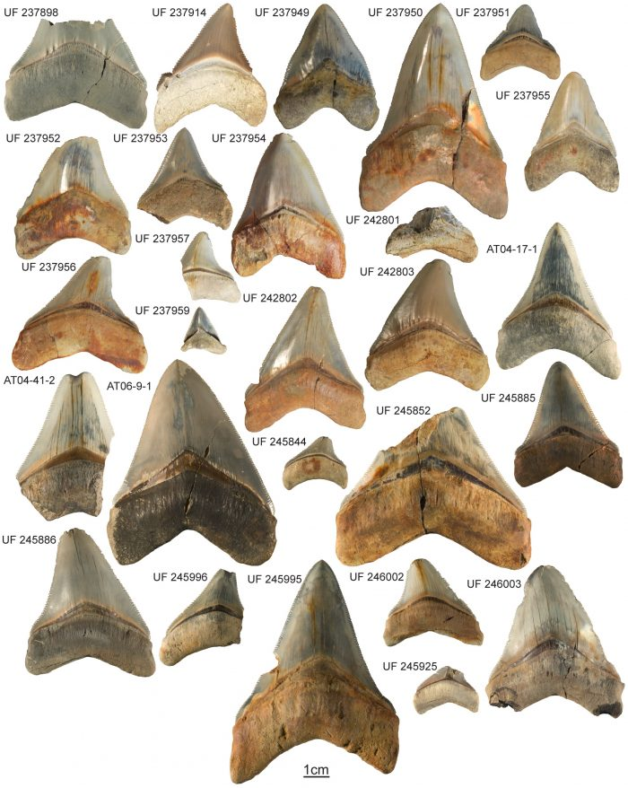 Shark Tooth ID